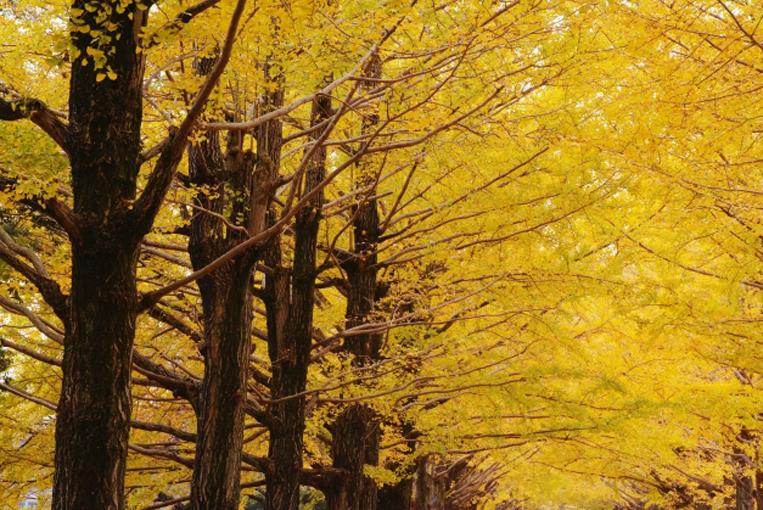 イチョウ並木の写真